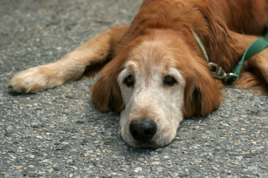 Cachorro idoso deitado no chão descansando