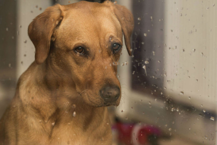Cachorro idoso preso em dia chuvoso contemplando a chuva do lado de fora