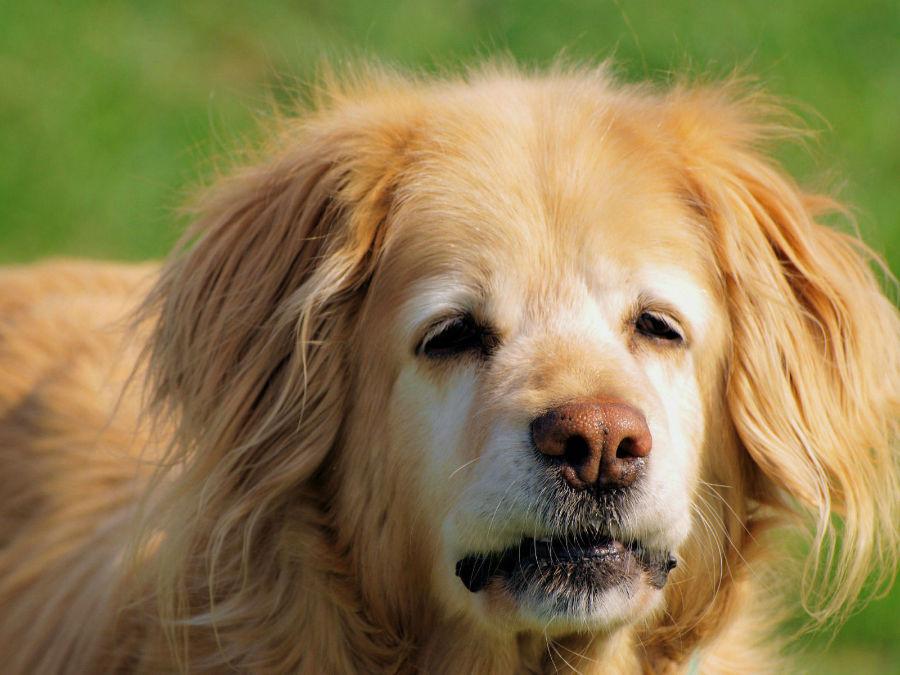 Cachorro idoso: Golden Hovawart já idoso com seus pêlos embranquiçados no focinho e na face.