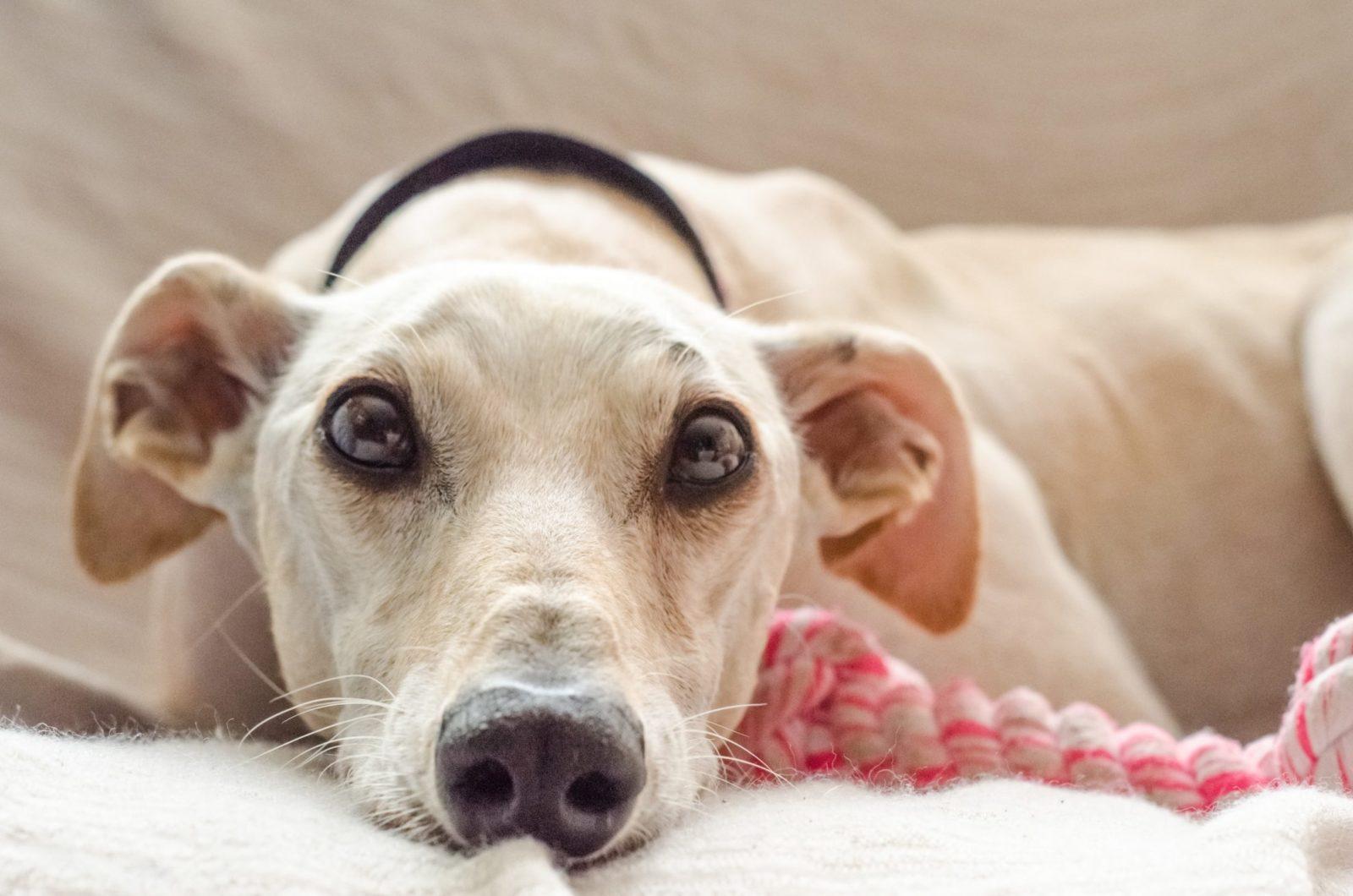 cães para adotar em sites de adoção