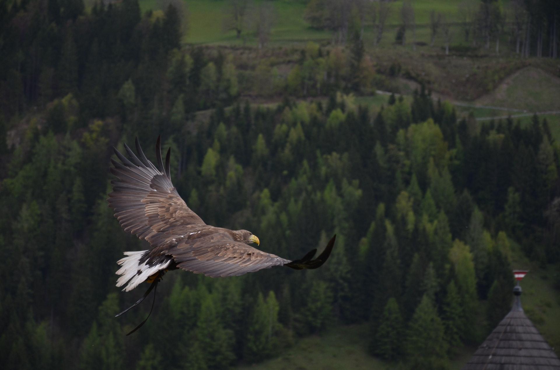 Sonhar com águia voando é refexo da nossa liberdade espiritual.