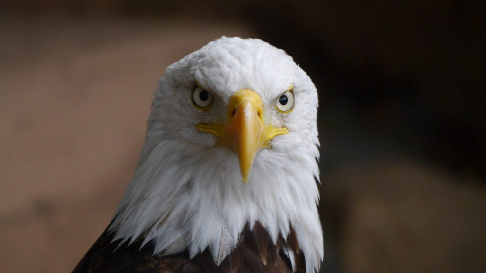 Sonhar com águia branca significa inocência.