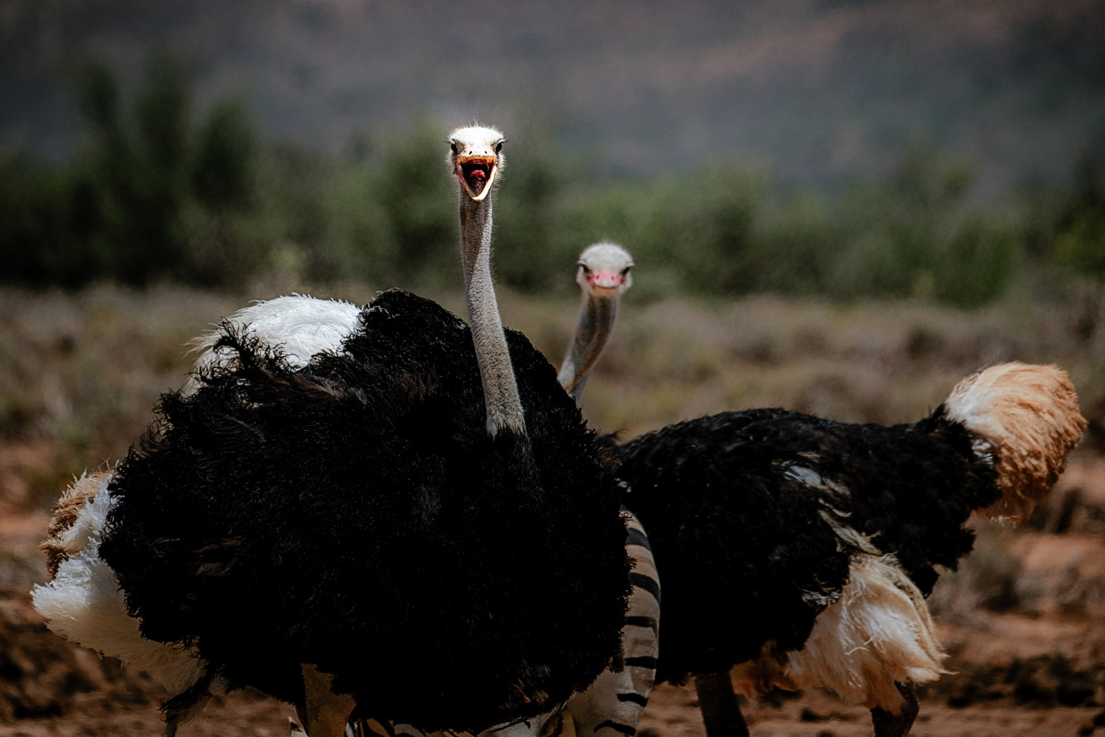Sonhar com avestruz correndo significa cautela com suas atitudes.