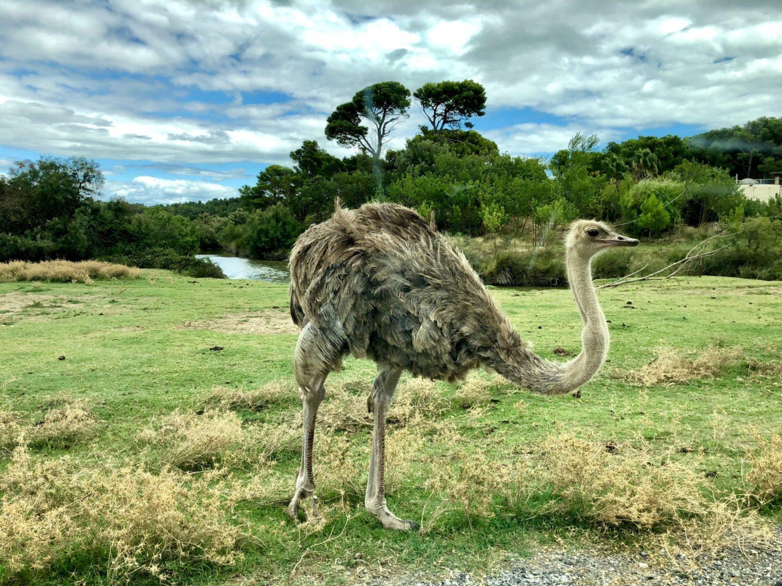 Sonhar com avestruz enjaulado pode ser sinal de relacionamento sufocado.