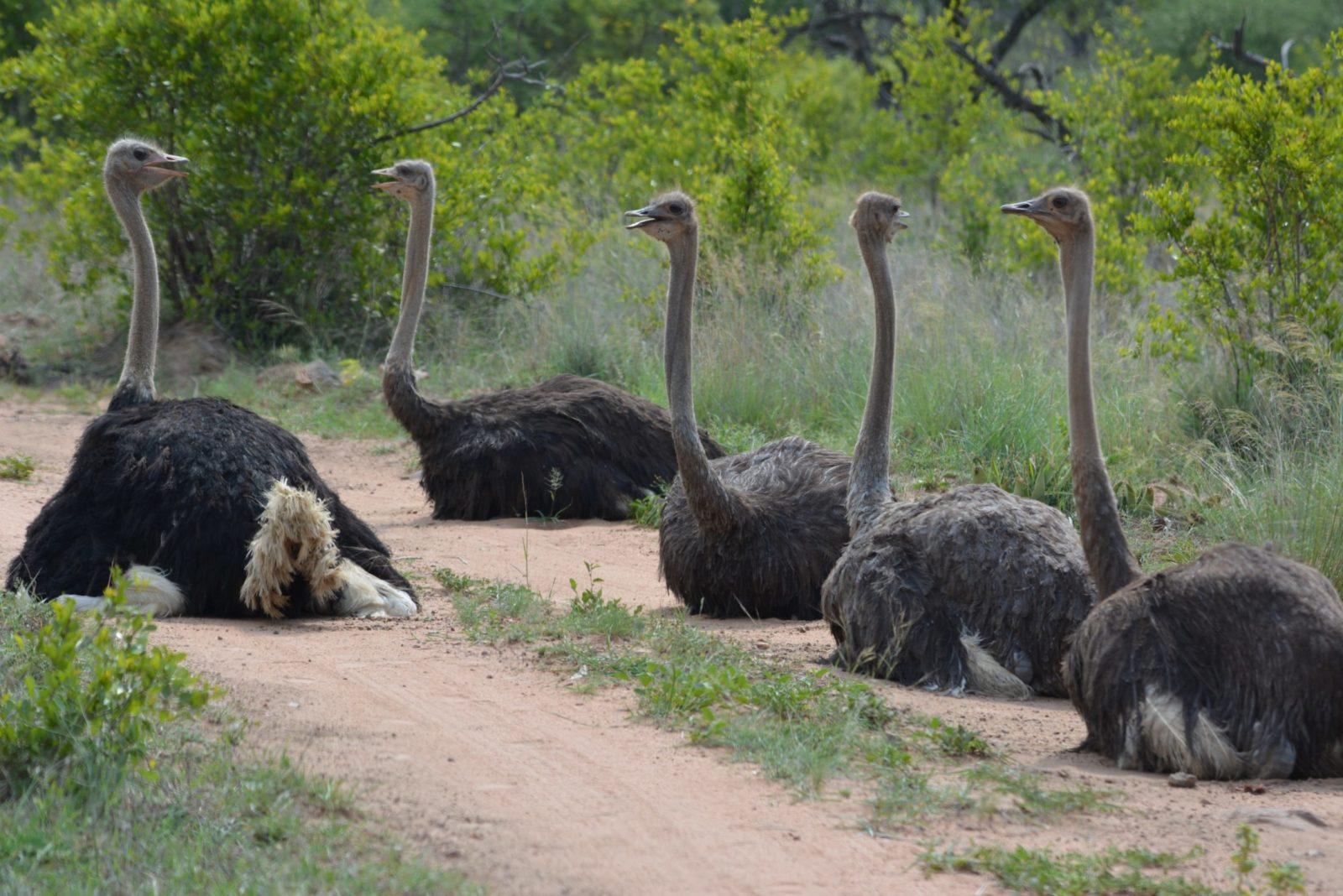 Sonhar com avestruz cruzando o caminho é sinal para evitar confronto.