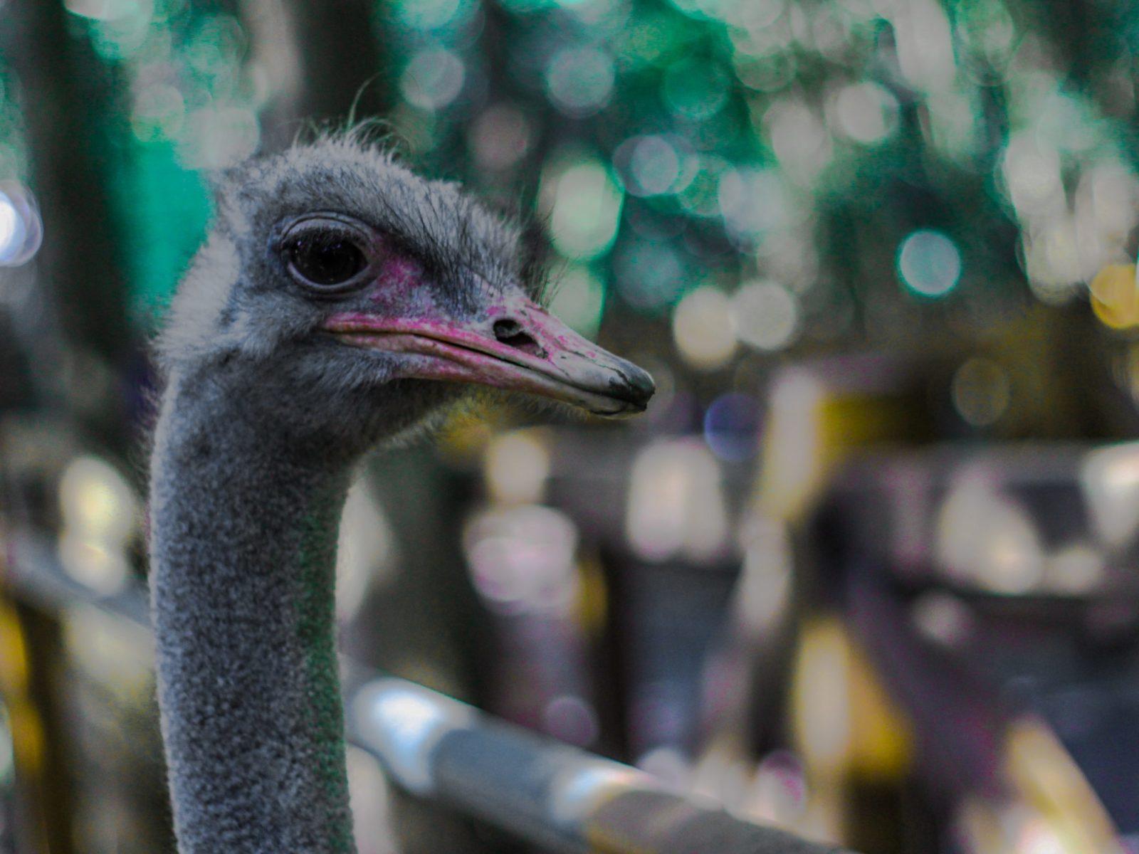 Sonhar com avestruz representa procura pela verdade.