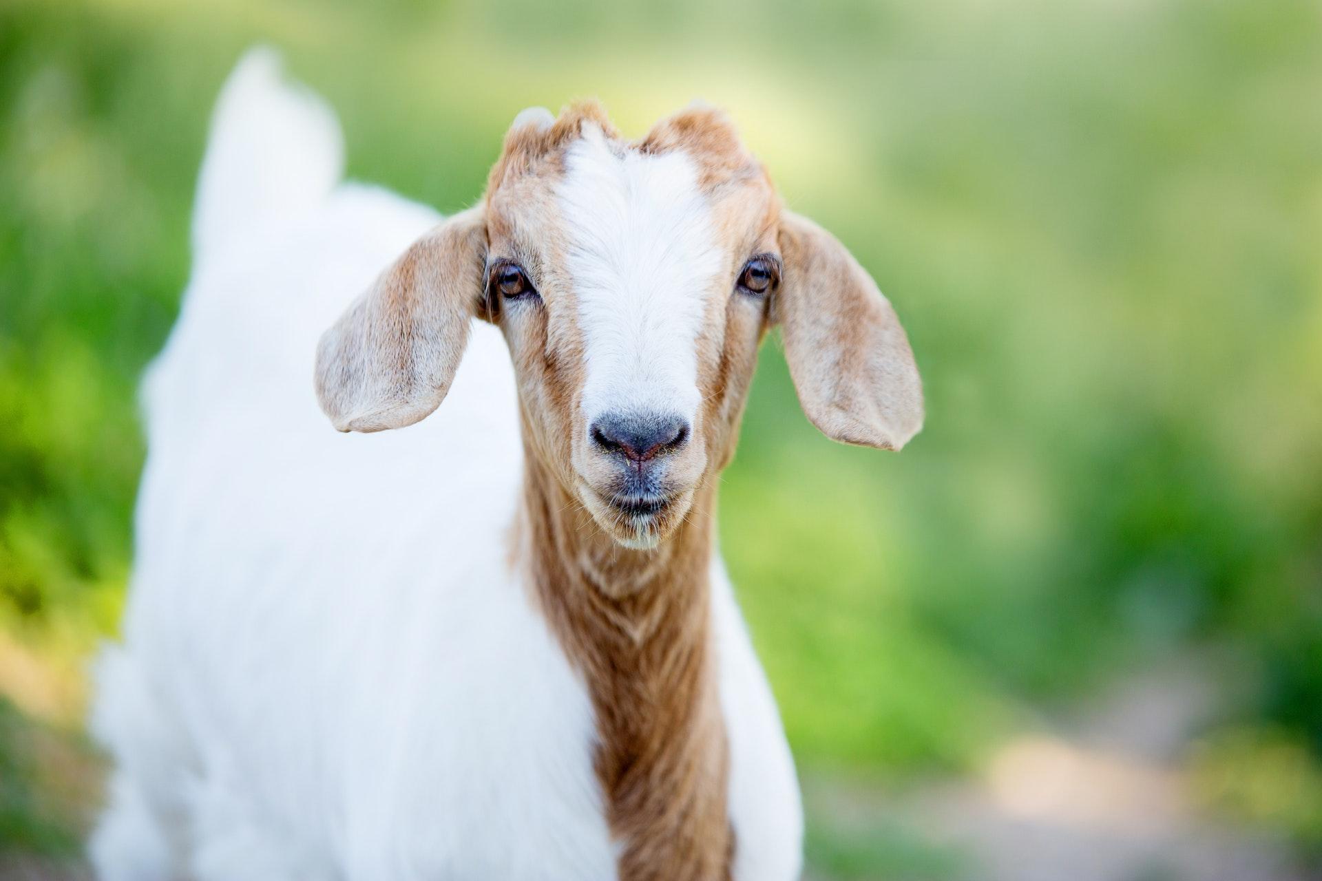 Sonhar com cabra filhote é sinal para se cuidar mais.