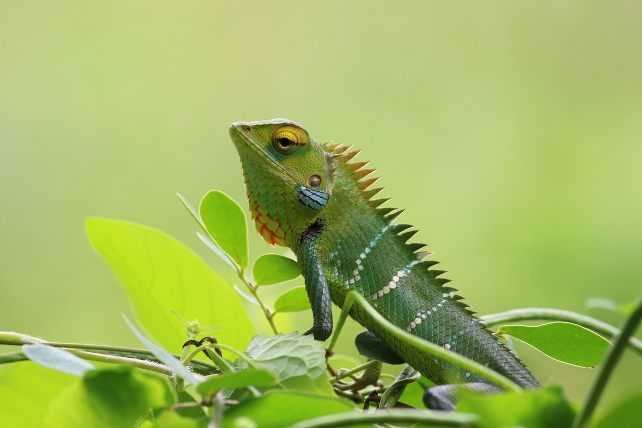Sonhar com camaleão é sinal de capacidade de mudar e se adaptar