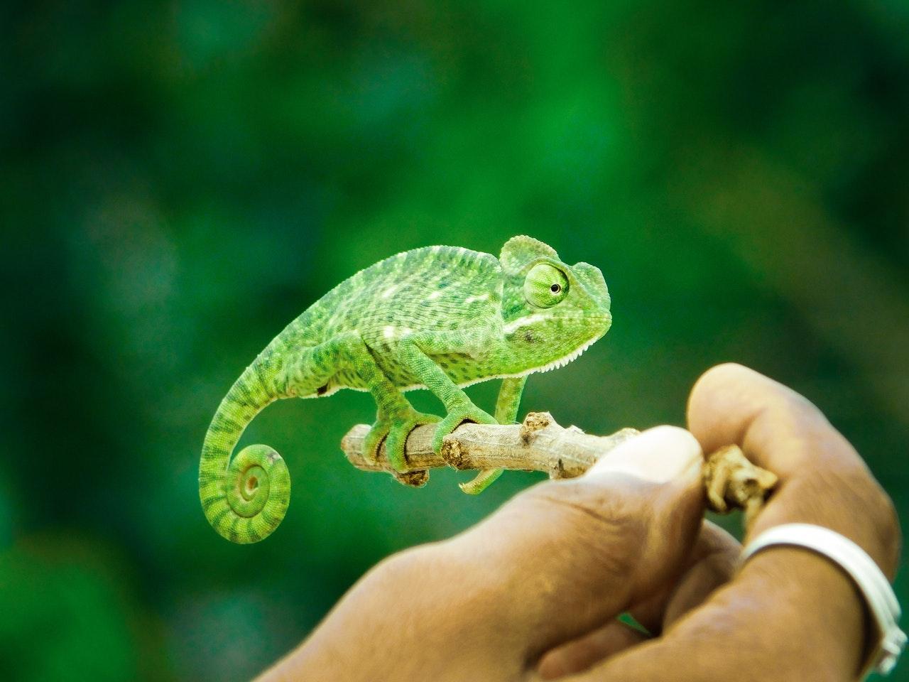 Sonhar com camaleão pequeno simboliza as suas reclamações sobre a sua própria vida