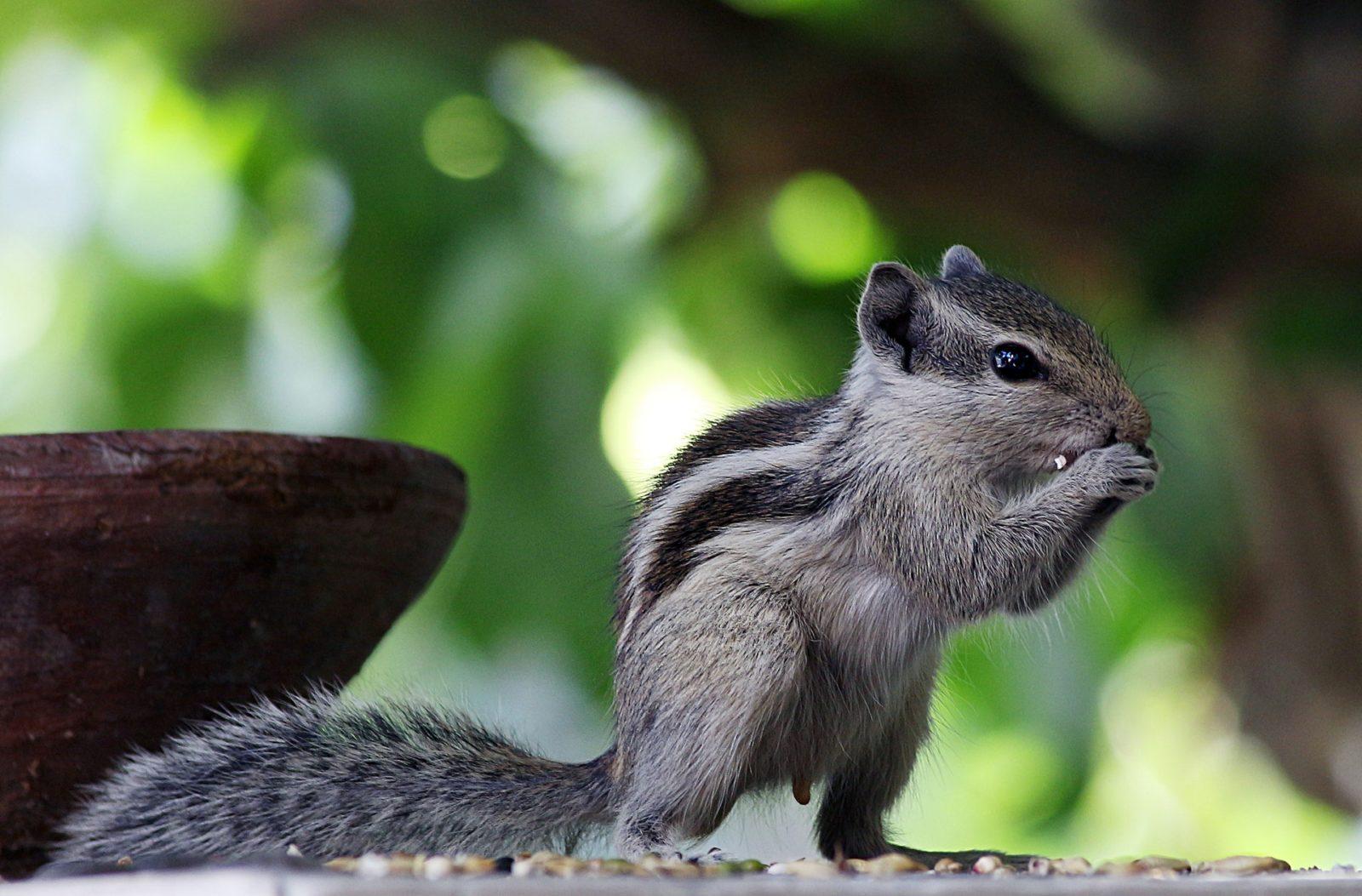 Sonhar com esquilo comendo uma noz é sinal de sorte.