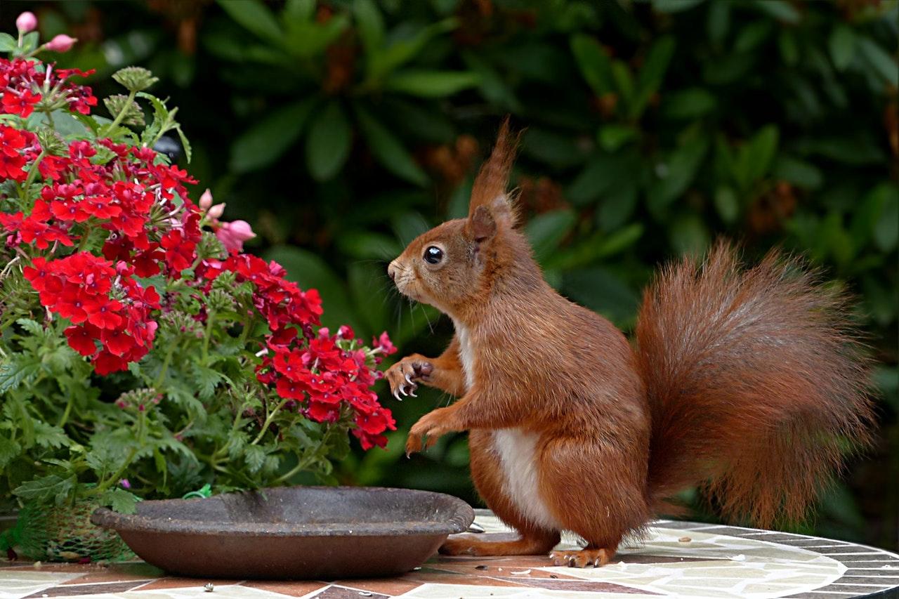 Sonhar com esquilo marrom sugere períodos de turbulência.