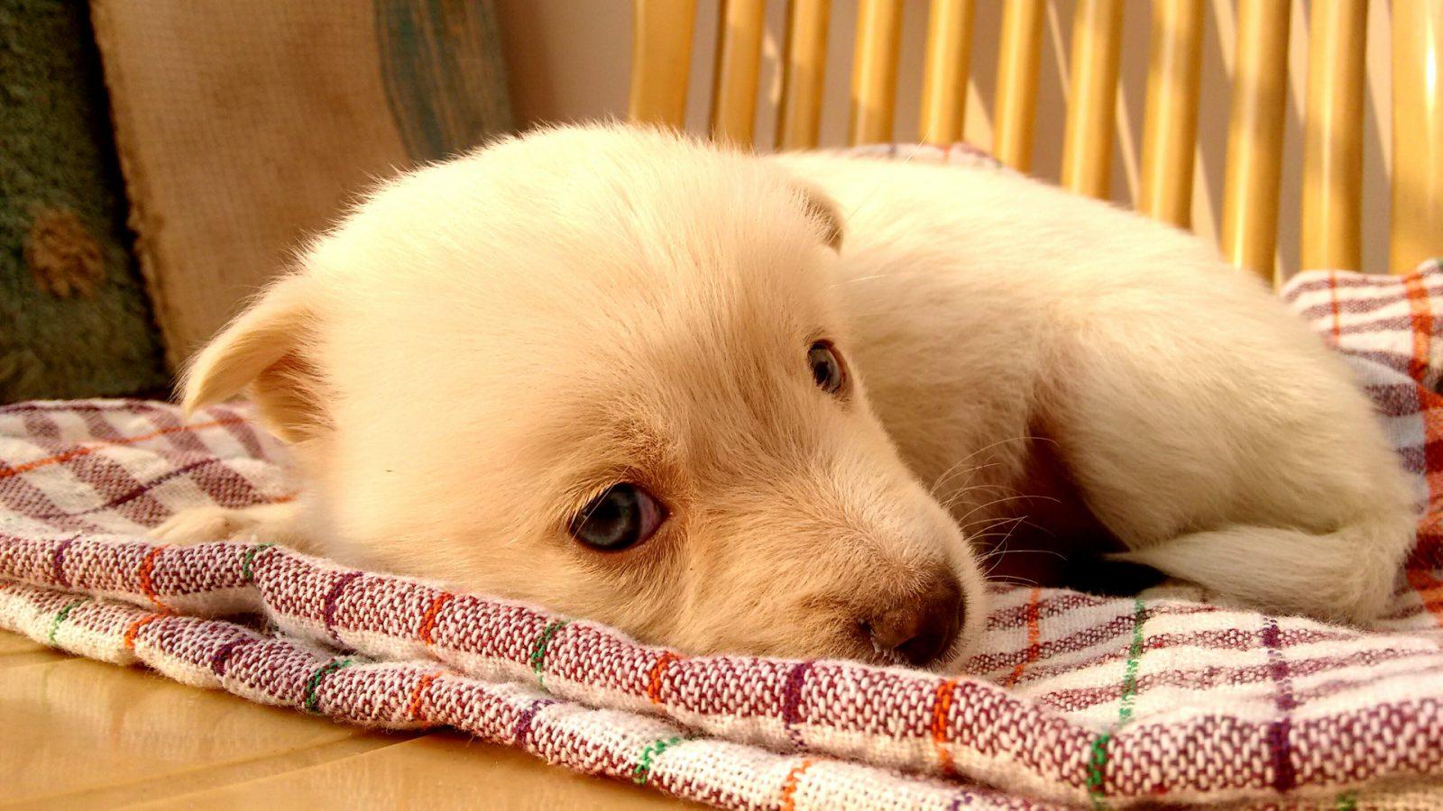Sonhar com filhote de cachorro dormindo signifca um desejo de transferir seus conhecimentos para outras pessoas.