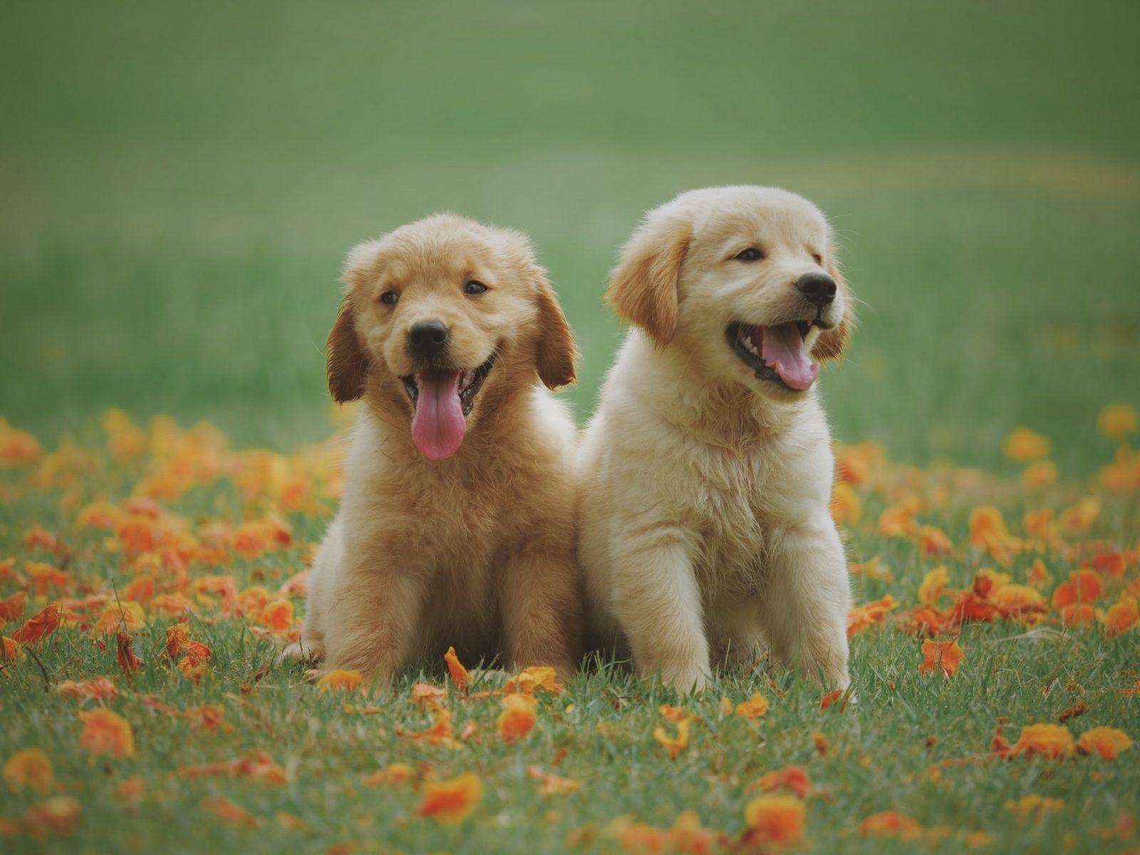 Sonhar com filhote de cachorro amarelo indica sentimentos agradáveis.