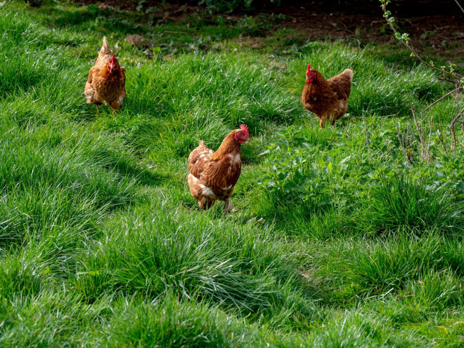 Sonhar com frango sendo comprado é sinal de fase despreocupada.