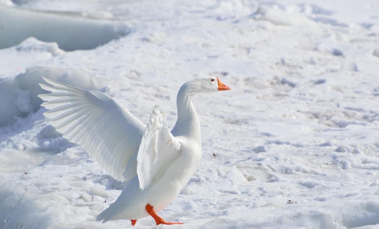 Sonhar com ganso branco é sinal de pessoas mal intencionadas.