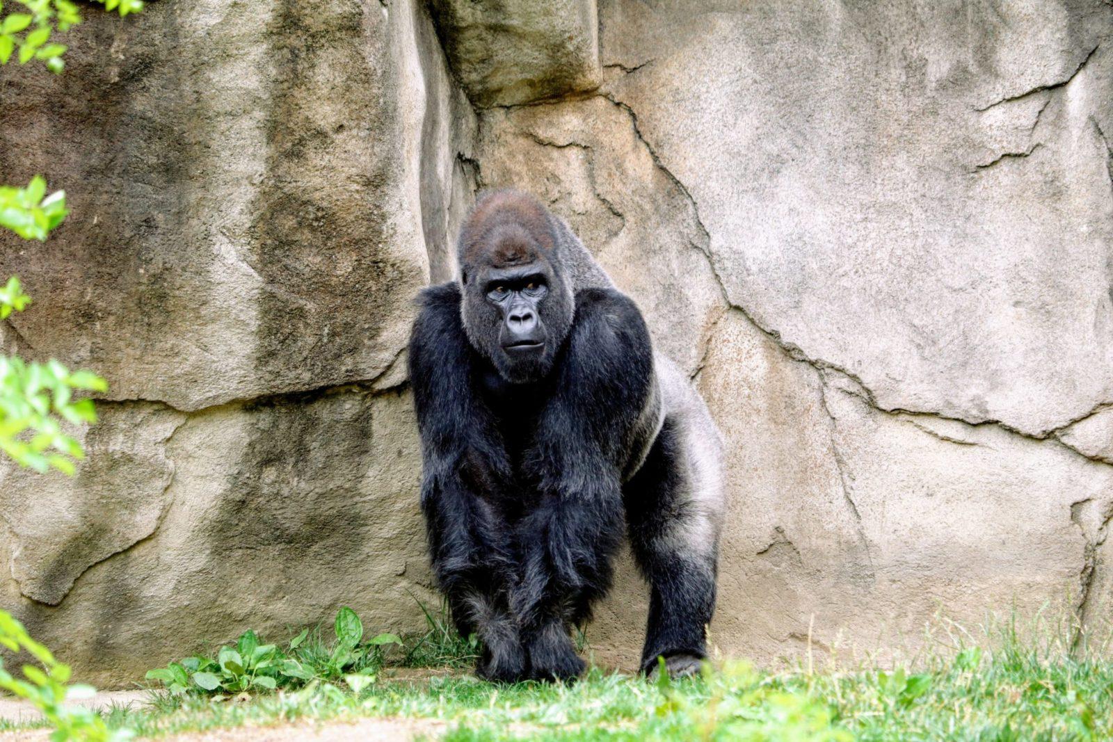 Sonhar com gorila de estimação é sinal de preocupações.