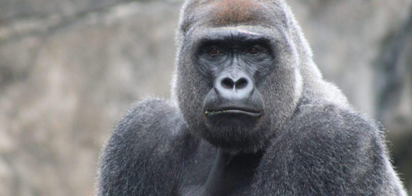 sonhar com gorila