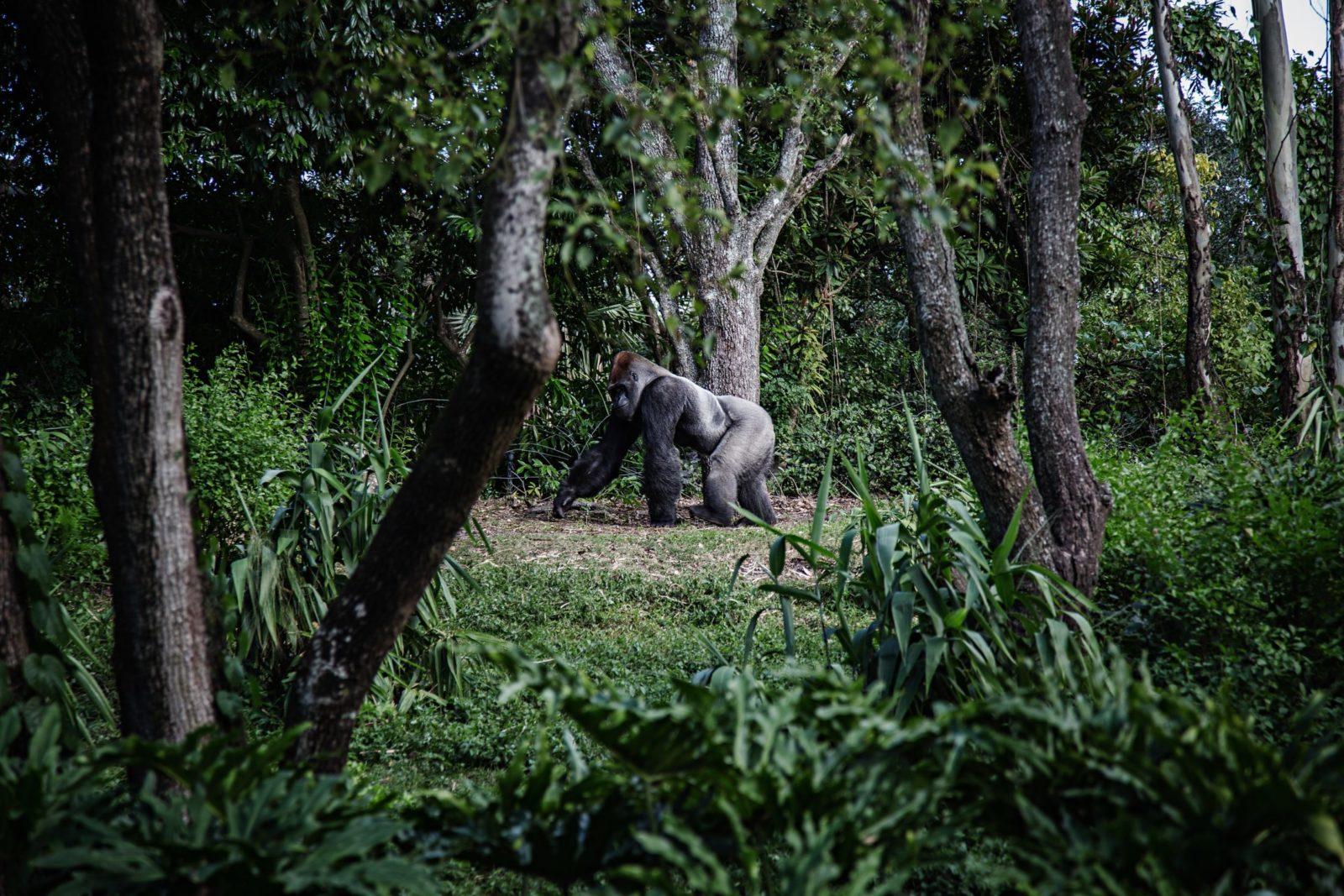 Sonhar com gorila e ter medo é sinal de problemas no trabalho.