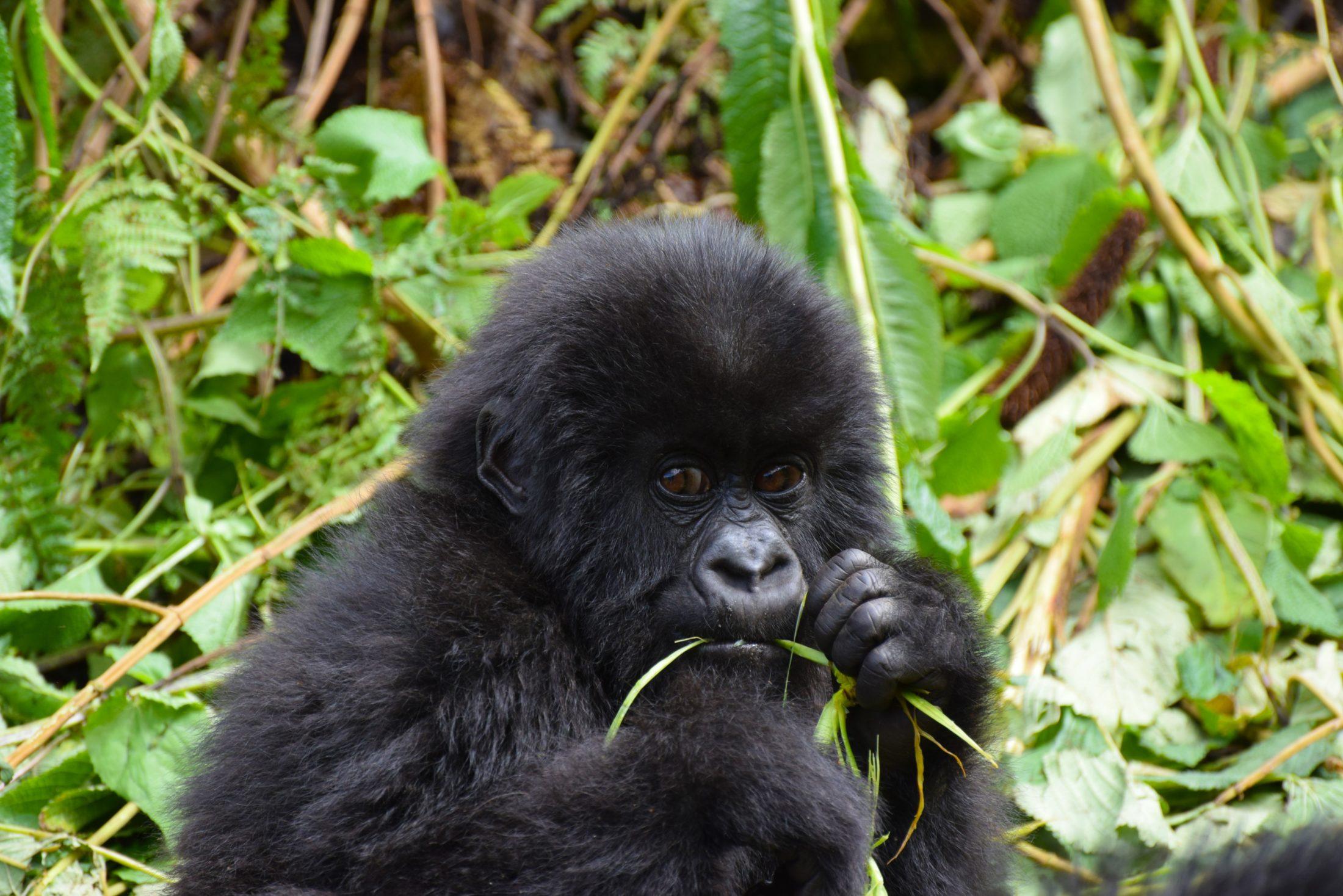 Sonhar com gorila pode representar algo no trabalho.