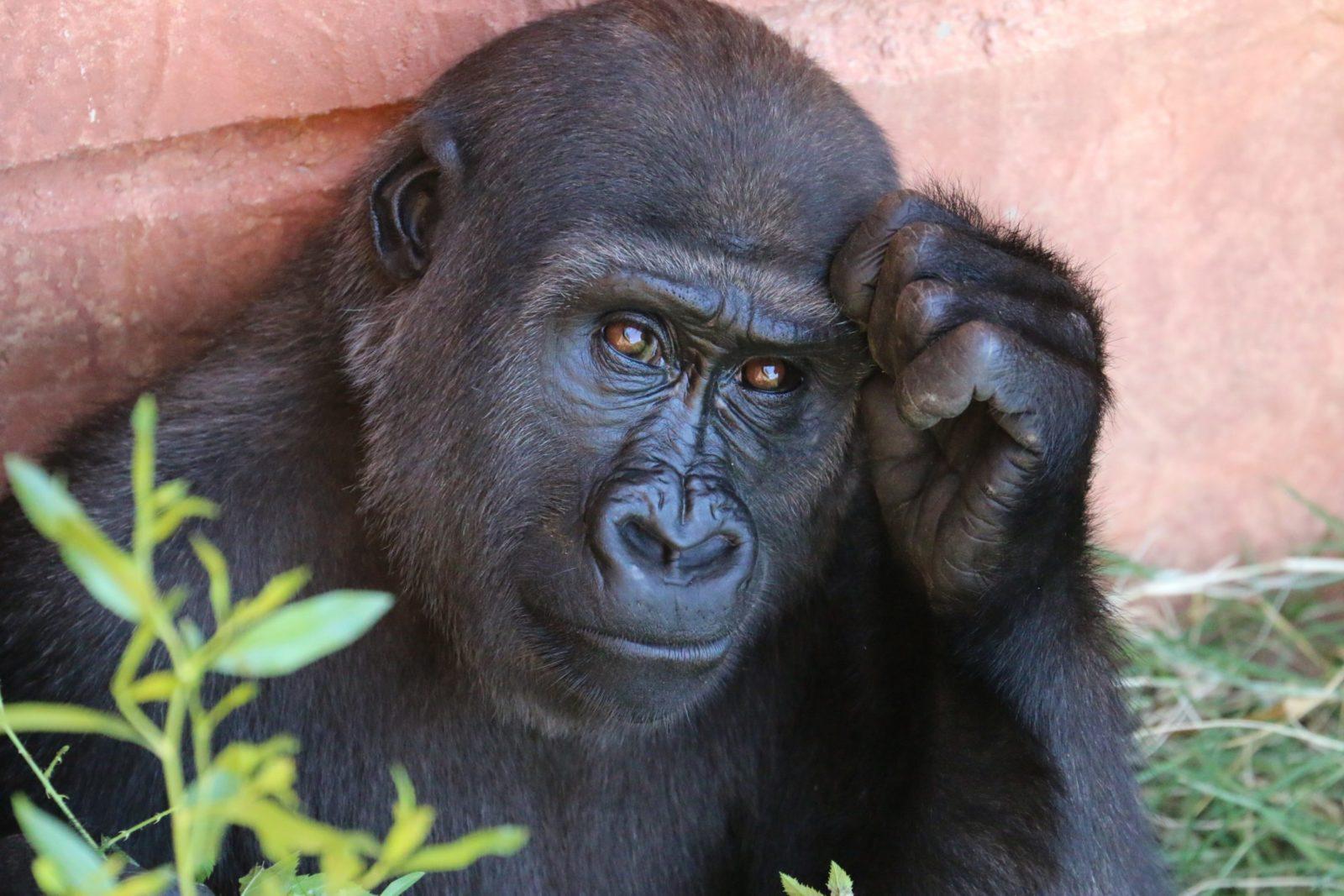 sonhar com gorila é imaturidade