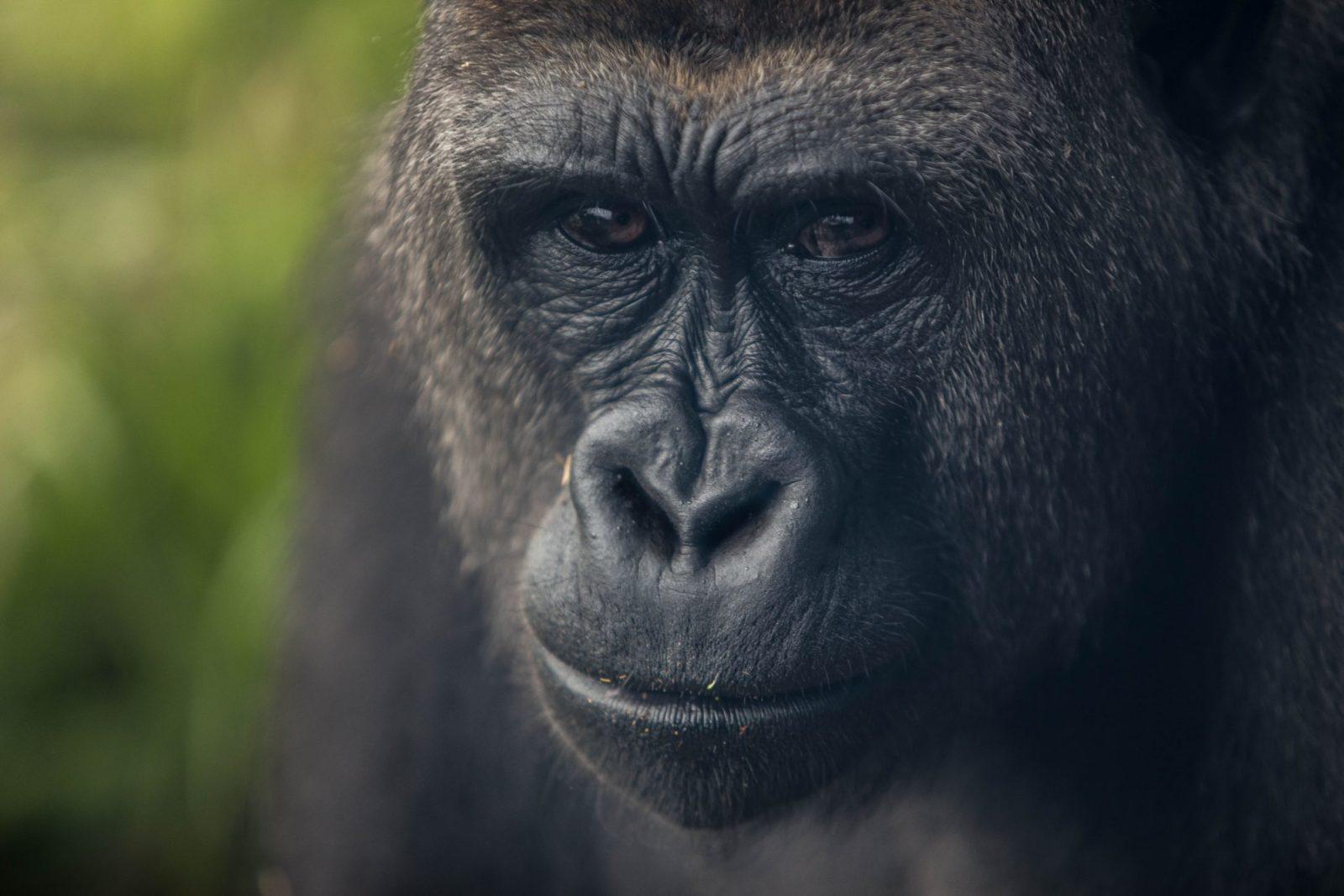 Sonhar com gorila grande é prosperidade.