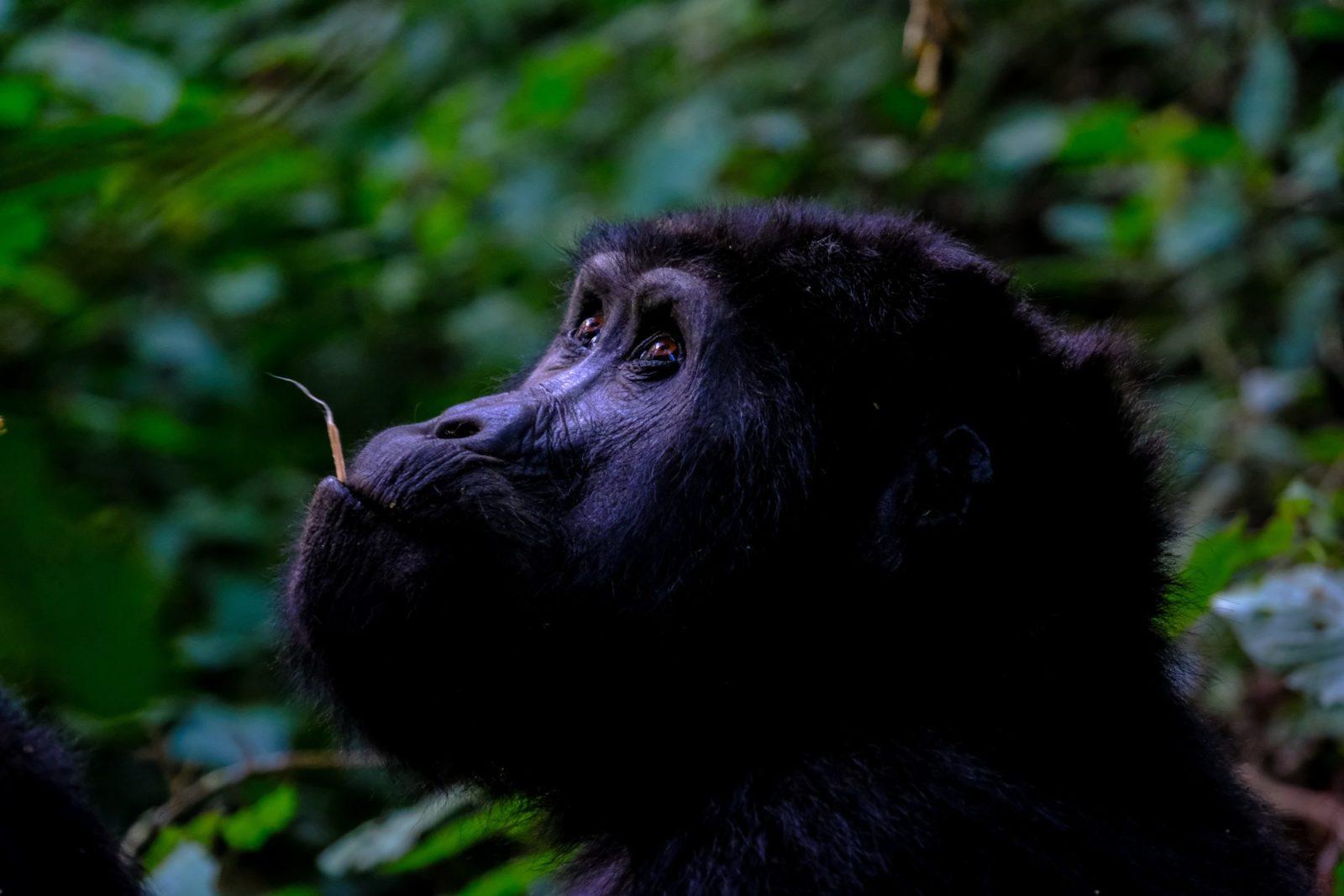 Sonhar com gorila comendo é bom presságio.