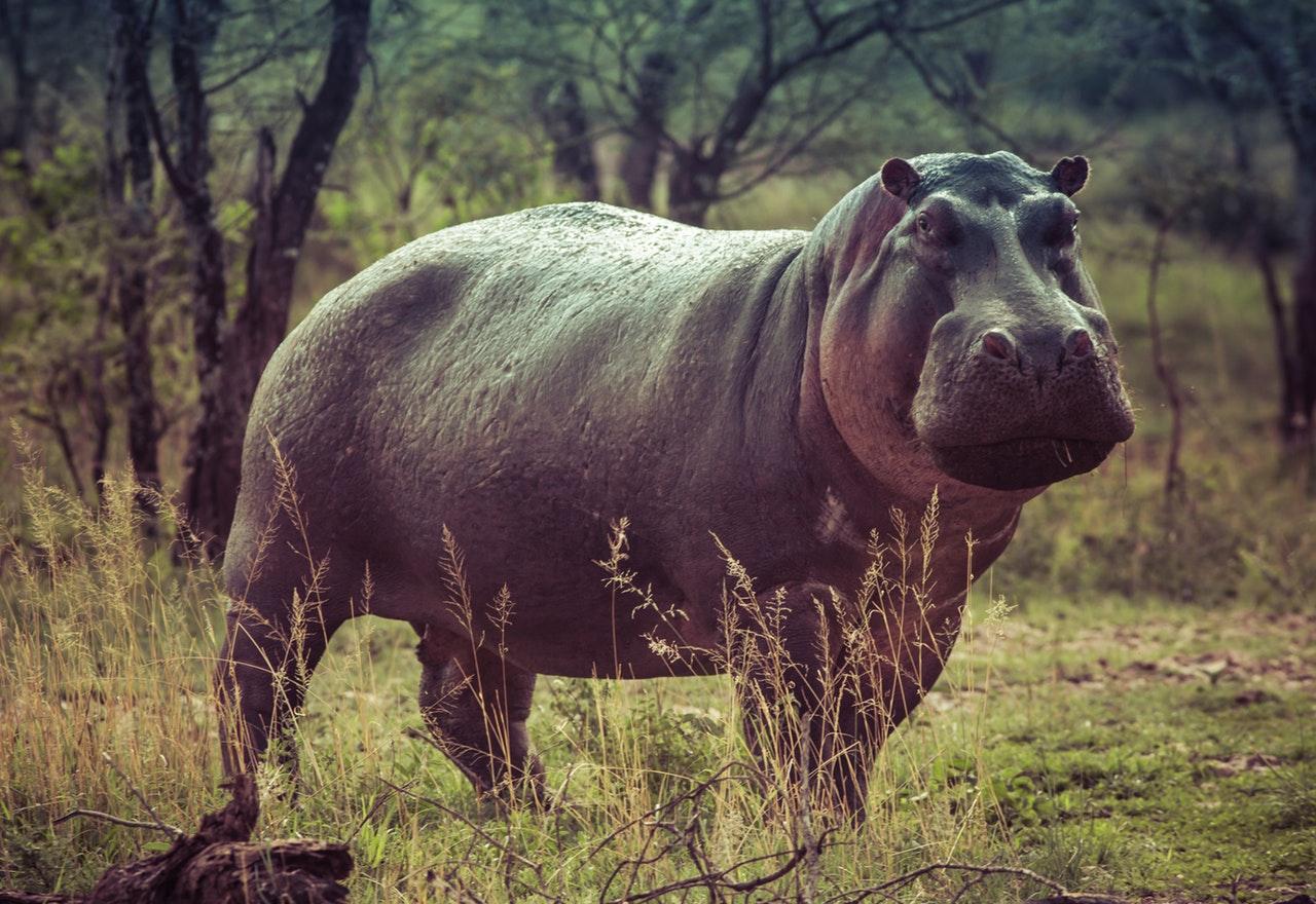 Sonhar com hipopótamo e ficar assustado simboliza um obstáculo.