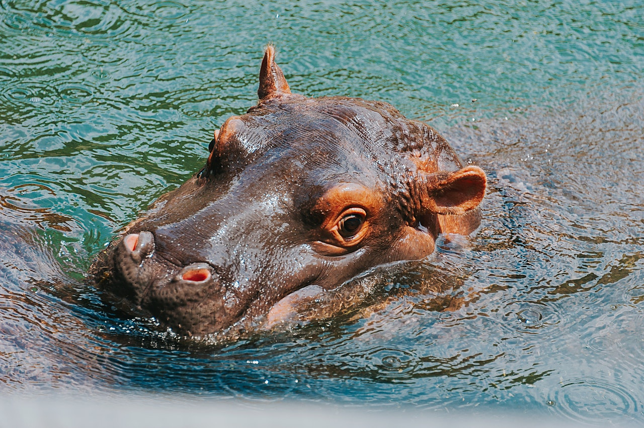 Sonhar com hipopótamo na água indica que você vai superar todos os medos da vida