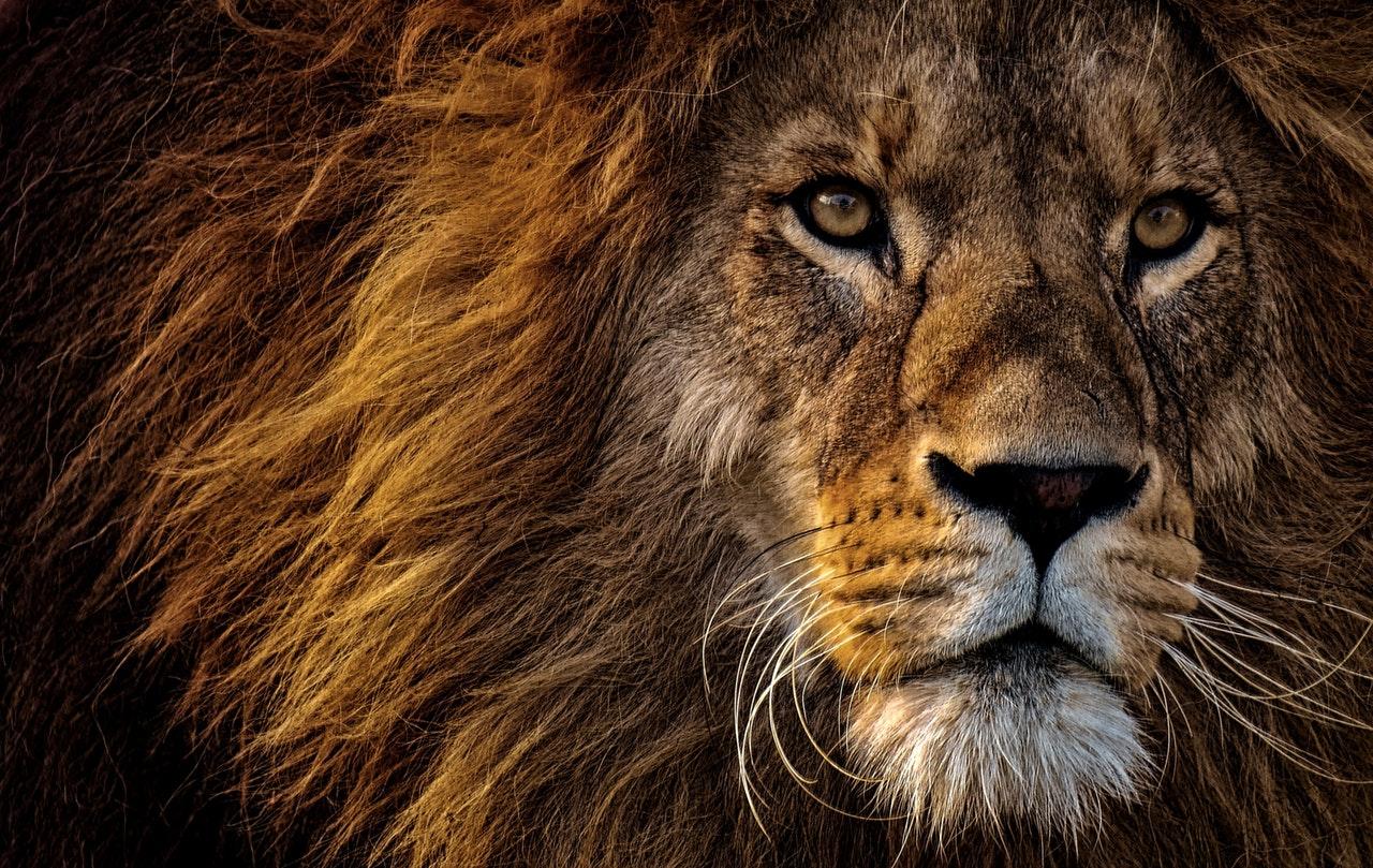 Sonhar com leão nos perseguindo é sinal de estar fugindo de algo.