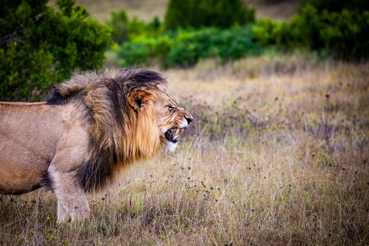 Sonhar com leão te atacando significa estar no caminho da autodestruicão.
