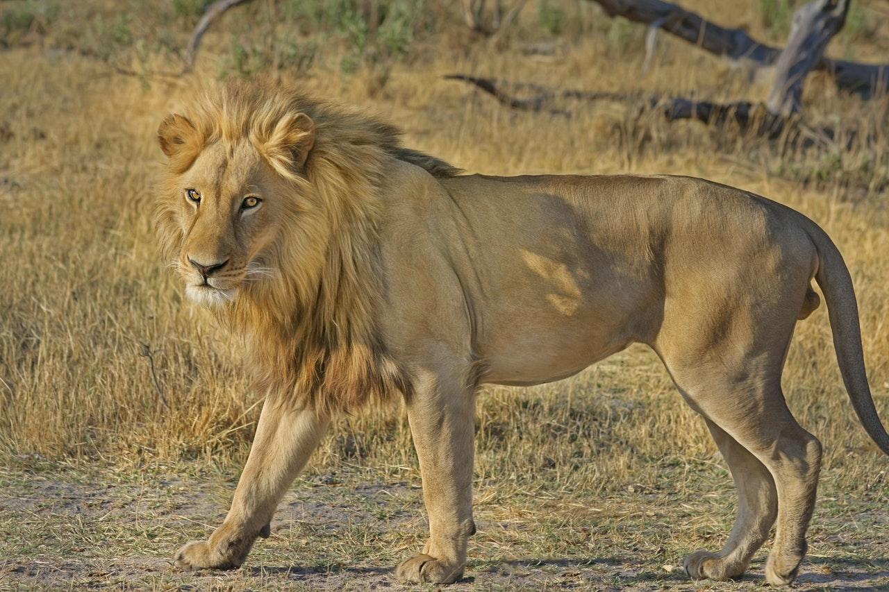 Sonhar com leão cruzando o seu caminho é sinal de fortalecimento de coragem.