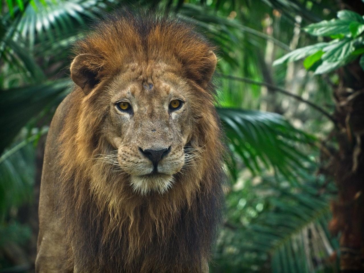 Sonhar com leão manso indica acomodação.