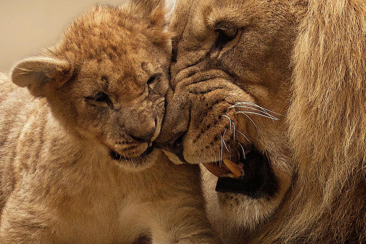 Sonhar com leão e filhotes  é um sinal excelentes escolhas
