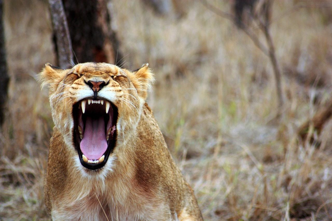 Sonhar com leoa caçando é sinal de autossuficiência