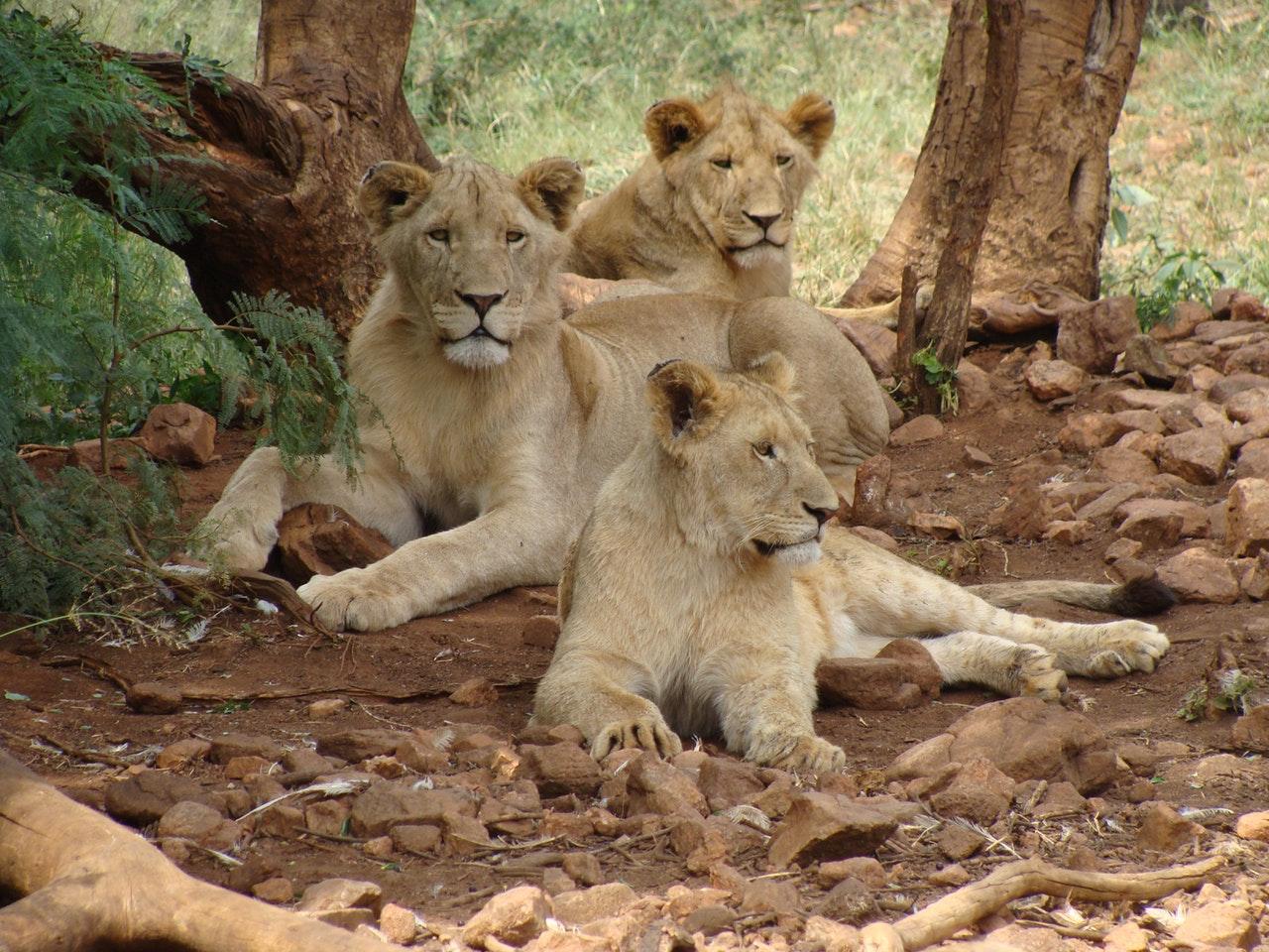 Sonhar com leoa e filhotes é sinal de boas escolhas.