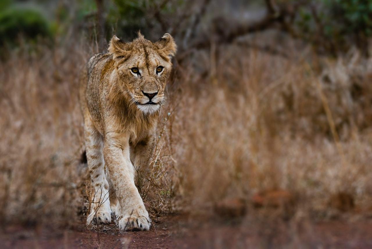 Sonhar com leoa te perseguindo representa os aspectos de nós mesmos