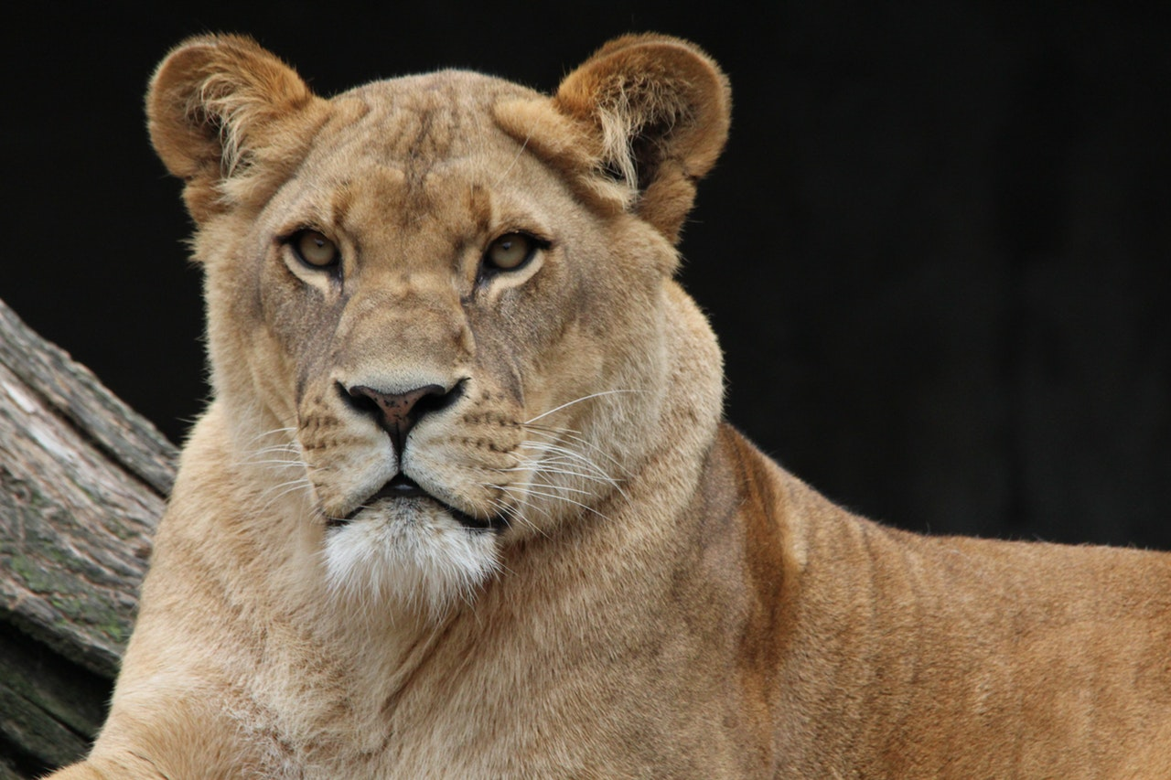 Sonhar com leoa sendo você significa que você é uma pessoa muito leal