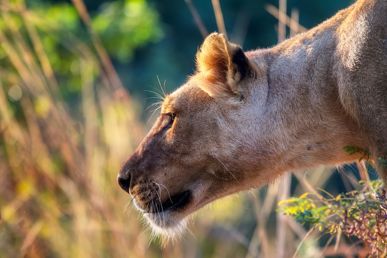 Sonhar com leoa branca representa o seu poder