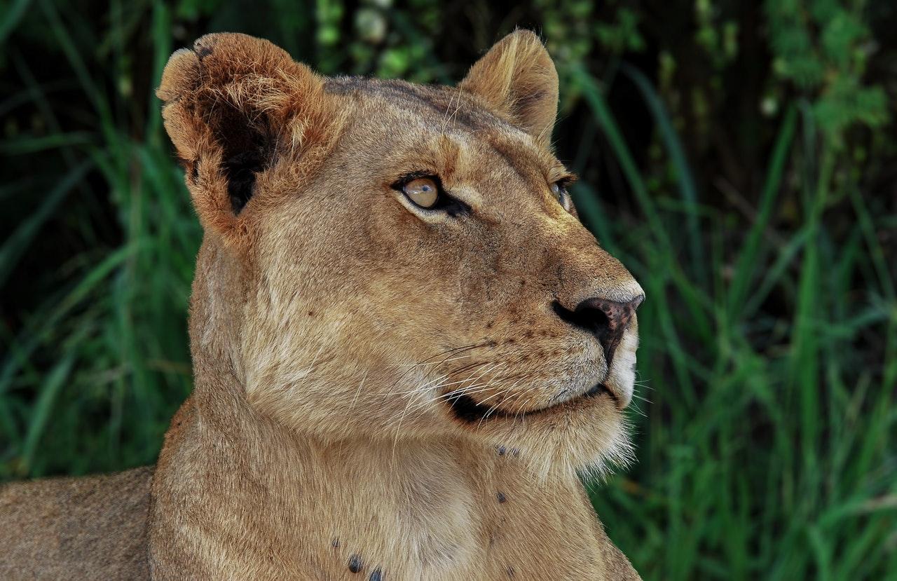 Sonhar com leoa simboliza a força, a honra e o orgulho.