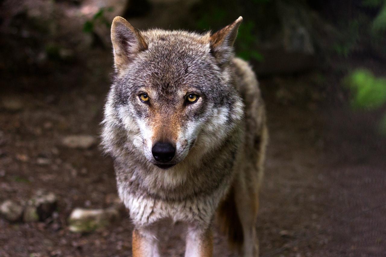 Sonhar com lobo é sinal de necessidade de aproximação da família.