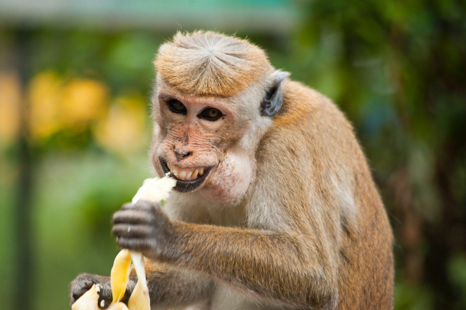 Sonhar com macaco se alimentando não é bom sinal.