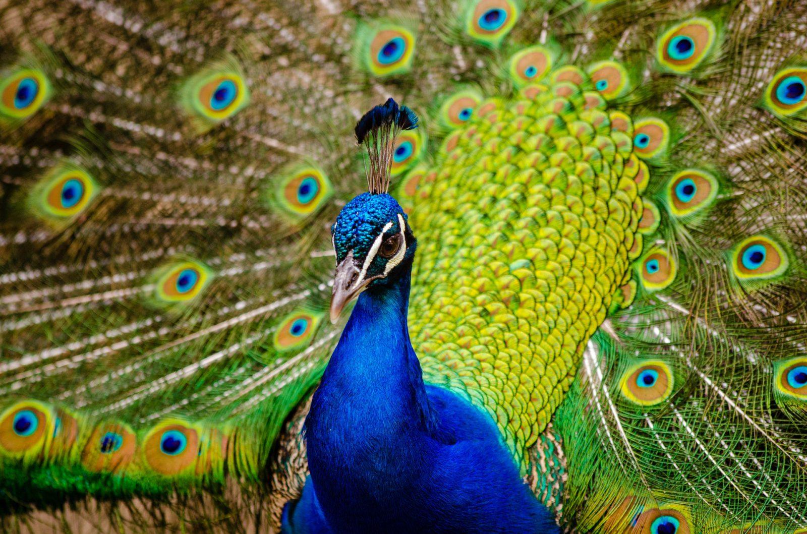 Sonhar com pavão é sinal de bons presságios para o futuro.