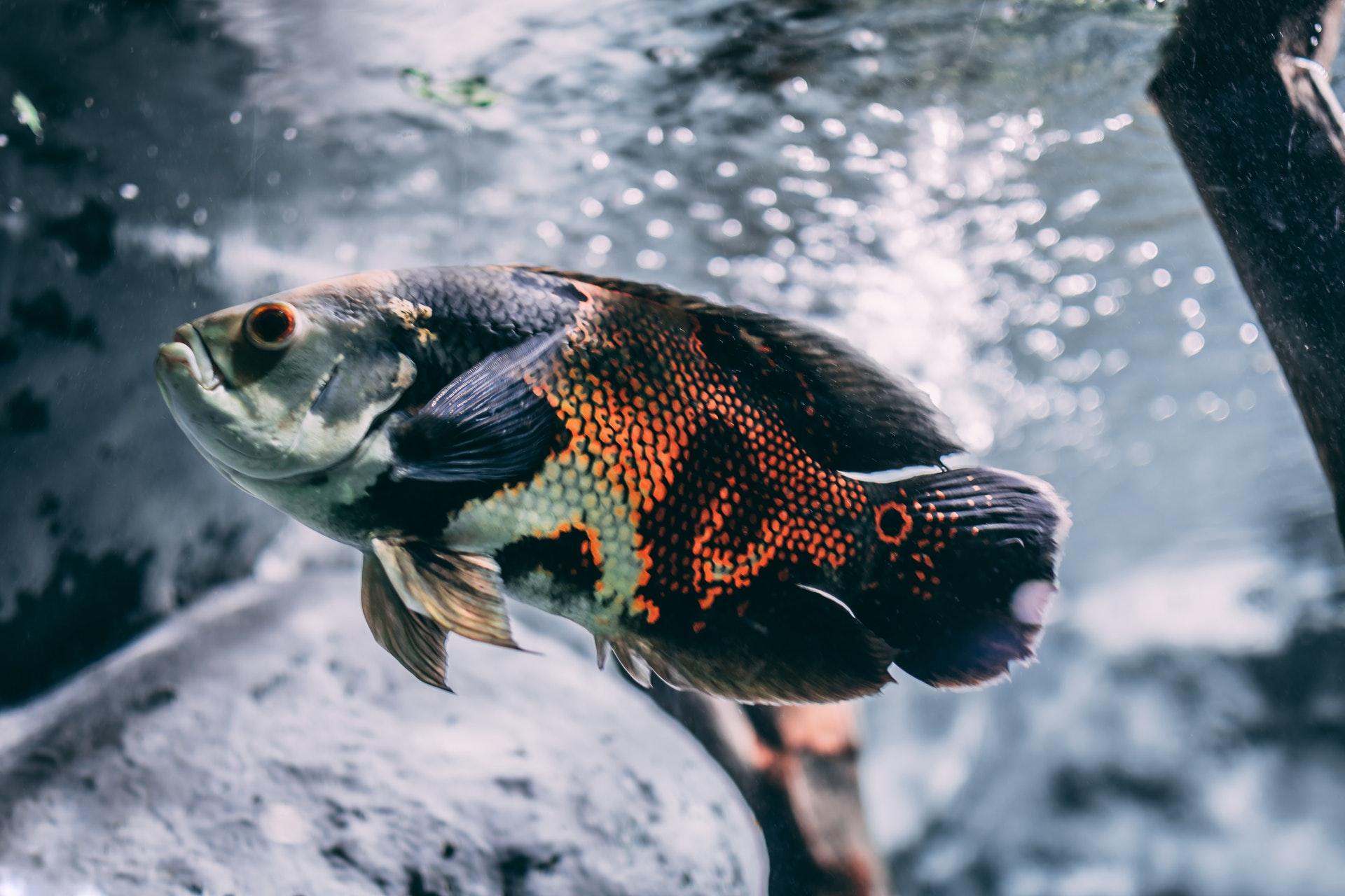 O significado de sonhar com peixe colorido vai depender da sua cor.
