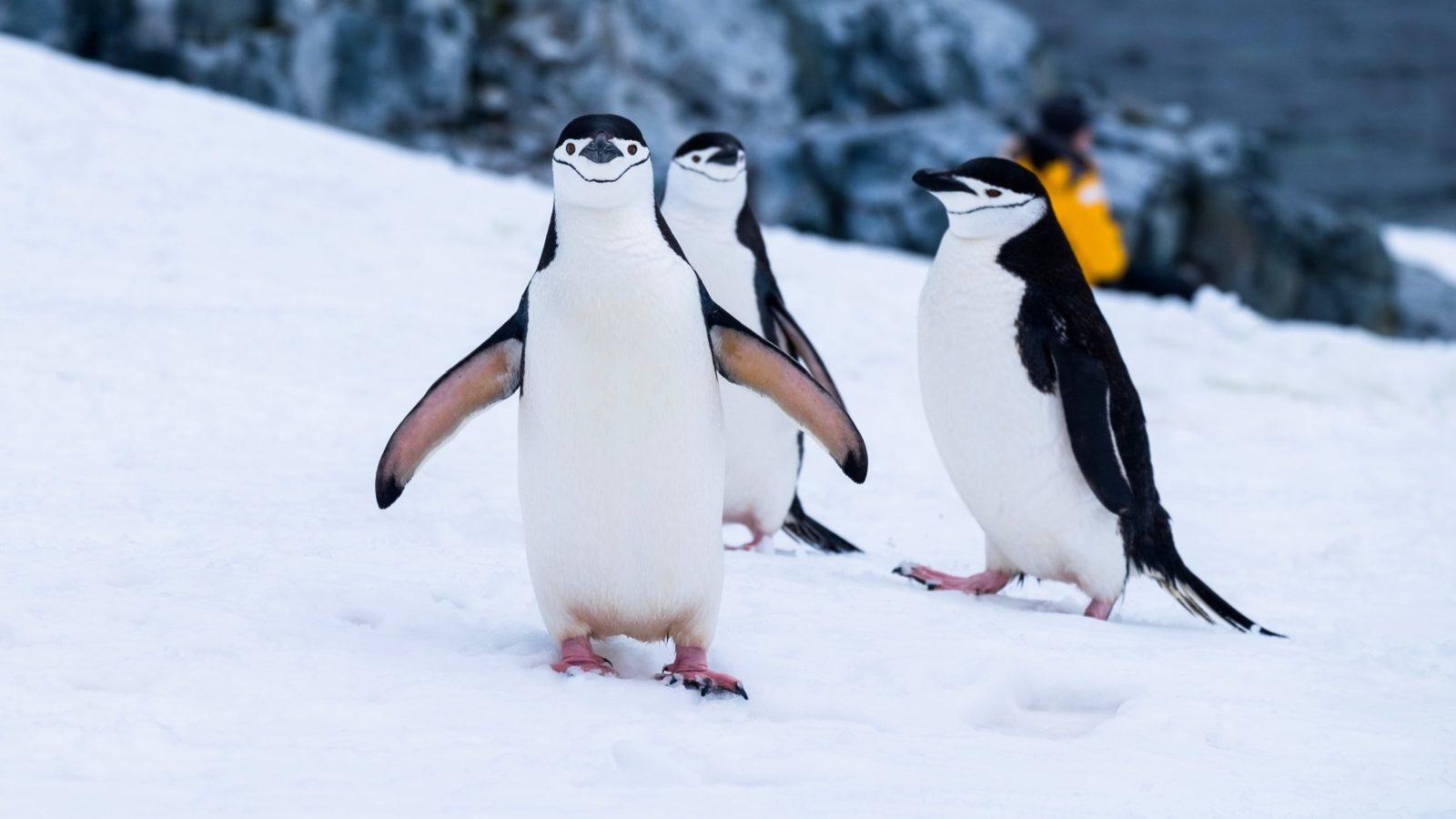 Sonhar com pinguim e você no meio deles é sina de confusão.
