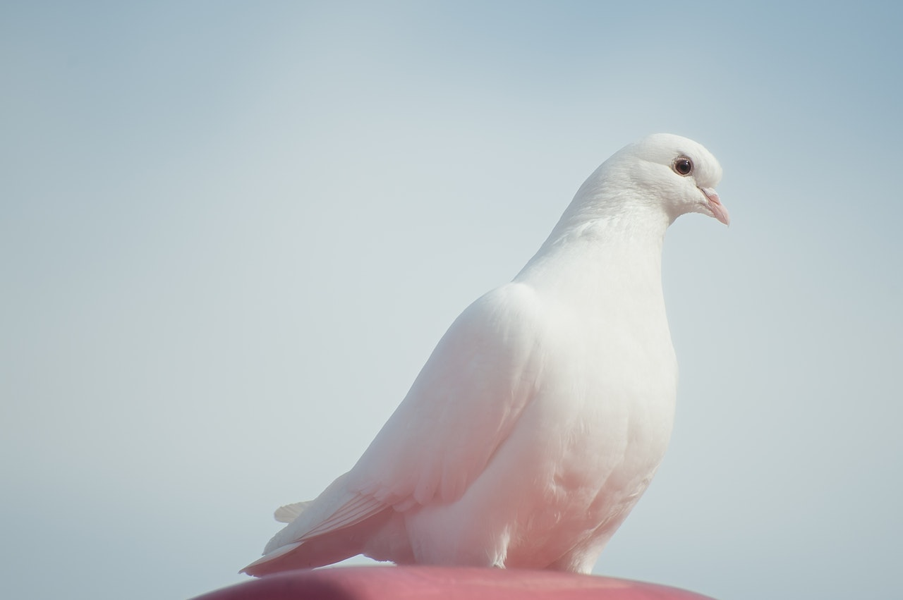Sonhar com pombo branco é sinal de espiritualidade em desenvolvimento