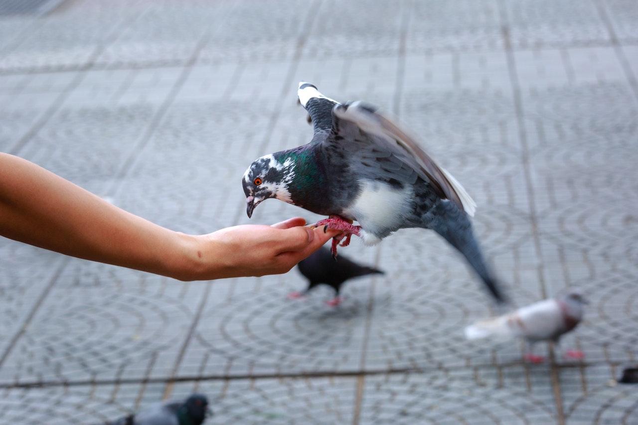 Sonhar com pombo nas mãos está relacionado à vida amorosa.