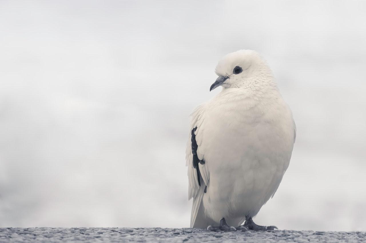 Sonhar com pombo representa autoconfiança, estabilidade e premeditação cuidadosa