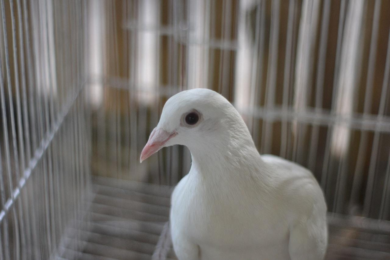 Sonhar com pombo preso ou em uma gaiola é sinal de boas notícias.