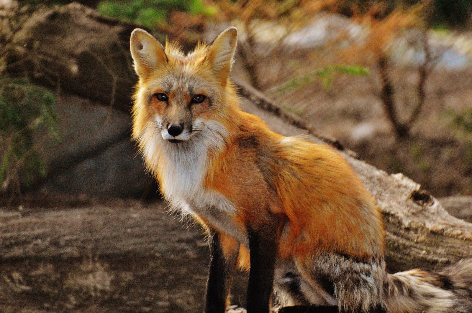 Sonhar com raposa observando-a no sonho indica que você deve ser mais discreto.