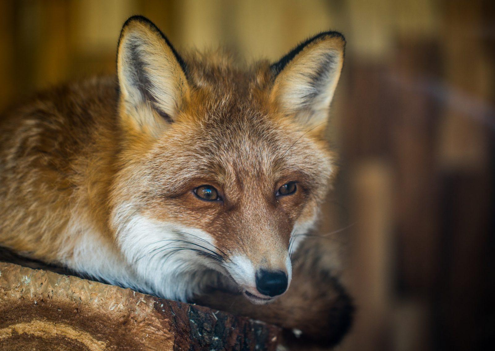 Sonhar com raposa em meio a uma caça pode indicar fraudes.